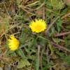 タンポポの開花 今年は観測史上最も早い開花日となった