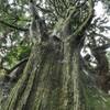 千手観音さまが宿っているような杉 愛媛県松山市立岩米之野