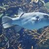 魚がフグを食べても毒にならないの?