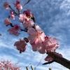 和光町の緋寒桜