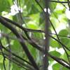ムシクイと猛禽類(大阪城野鳥探鳥 2017/07/15 4:40-9:05)