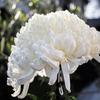 今年も菊が見事に咲きました。(注:例によって義父からのプレゼントです)