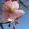 「桜」開花宣言