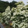 霊園風景 その32   「‥純白の踊り木 ヤマボウシ」