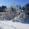 「まつこの庭」のクリスマスローズ(1)