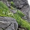 岩の間にハクサンイチゲ