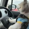 だいず車を運転する