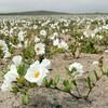 異常気象:ルーマニアやロシアで夏に雪が降り積もり、チリのアタカマ砂漠では一面に花が咲く