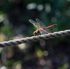 赤蜻蛉と小灰蝶