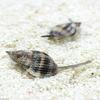 (海水魚)貝 リュウキュウムシロガイ 底砂とその他の掃除(1匹) 北海道・九州航空便要保温