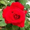 「野ばら」の前に:「バラが咲いた」