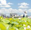 奈良県、藤原京跡にて約3,000平方メートルのハスゾーンが見頃。7月下旬から8月中旬まで。帰りには三輪そうめんを食べて。