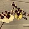 咲き進むオンシジューム、開花したアデニウム、ハナキリン、楽しみなデンマークカクタス、なかなか成長しない秋種まきの植物など