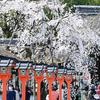 どうしても外せない用事で京都へ、ついでに桜を撮りに行く 後編
