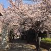 一気に桜日和散歩、横浜日吉編