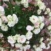 グリーンアイスの花色の変化