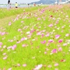 福岡県ではじめてみつけたコスモススポット