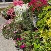 紅白のツツジ,マーガレット,ヨモギギク,シバザクラ,ネモフィラ---- 4月,5月には,ご近所を散策するだけで,家々の玄関先や垣根を飾る沢山の花々を楽しむことができます.近くで見たのは初めてのツリガネスイセン.オオムラサキツユクサは,植えられているのか,雑草としてあるのか?定番の花木コデマリ.沢山の花が一斉に咲いて,見応え十分のモッコウバラ.