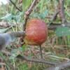 今年のリンゴは4つ(今のところは)