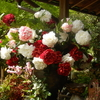 大根島・由志園の花と情景 9(島根県松江市)