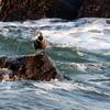 豪快な波洗う磯崎海岸の中のシノリガモ