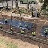 キュウリやミニトマトは自宅で栽培