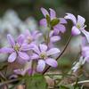 輪島市の市の花「雪割草」を撮りに猿山岬まで行ってきました。