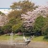桜満開  新年度に向けての新習慣