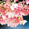 Nikon1で撮った熱海桜(その1)