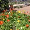 春のナパ・バレー。ロバート・モンダビ・ワイナリーで定点観測
