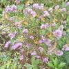 新入りのハーブと紅葉する紫陽花