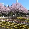 芦花公園(蘆花恒春園)の桜が満開 花見🌸🌸🌸Full bloom cherry blossoms