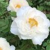 牡丹の花を見るなら薬王院(新宿区下落合4丁目)で決まり!