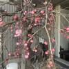 紅梅@好文画廊さん②:咲いてました!!立春も過ぎ、本格的な春はすぐそこ
