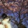 3月並みの陽気の立春、汐入公園の河津桜が満開