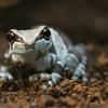 ジュウジメドクアマガエル Trachycephalus resinifictrix