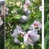 梅雨の中,今年もムクゲとハンゲショウ(半夏生)に楽しませてもらっています.ムクゲの花は同属のフヨウやハイビスカスそっくり.真ん中には穂のようにつながった雌しべと雄しべ.半夏生の花は目立ちませんが,近縁のドクダミと同じく,雌しべと雄しべだけの小さな花が,穂のようにつながっています.