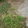 大雨に備えて芝張りを行いました