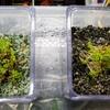 水草の栽培実験~キューバパールグラス編~第4回経過報告書
