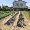サツマイモ・紅はるかを米津の畑に植えました。