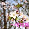【桜特集】春一番が吹いたので、春限定の桜のお酒あれこれをご紹介