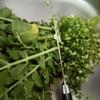 【捨てないで!栄養たっぷりの大根葉をおいしく利用】菜っ葉飯で美味しくビタミンA、ビタミンC、鉄分を摂ります!