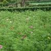 戸川公園のコスモス(秋桜)が咲き始めています(^_^)v