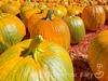 アメリカで秋を満喫できるパンプキンパッチ