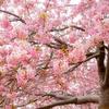 松田町の桜祭りへ