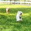 シニア犬は関節ケアも念頭において、しっかり食べてずっと歩ける子に