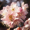 ツバキカンザクラにミツバチ&今年初めて出会った蝶♪
