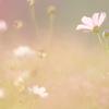 秋なのでコスモスの写真を撮ってみたよ!秋の花コスモス