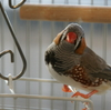 『朝焼けの空と錦華鳥』他 今日の錦華鳥・春夏秋冬