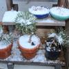 花冷え 桜と雪とパンジーと松盆栽